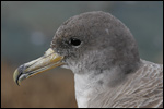 Cory's Shearwater by Bosse Carlsson