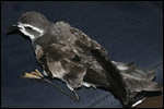 White-faced Storm-petrel by Bosse Carlsson